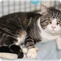 Domestic Shorthair Cat for adoption in Glen Mills, Pennsylvania - Chester
