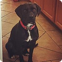 Adopt A Pet :: Shadow - Redondo Beach, CA