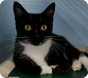 Domestic Shorthair Cat for adoption in Warren, Michigan - Tabitha