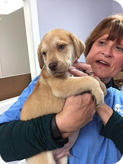 Labrador Retriever Mix Puppy for adoption in Hawk Point, Missouri - Odinn