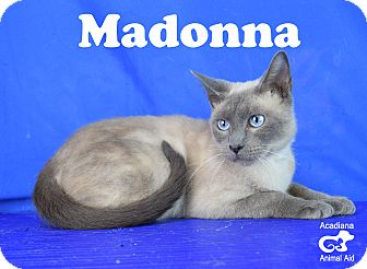 Siamese Cat for adoption in Carencro, Louisiana - Madonna