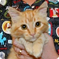 Domestic Mediumhair Kitten for adoption in Wildomar, California - Sean