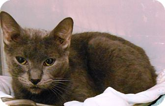 Domestic Shorthair Cat for adoption in Redding, California - Smuthers