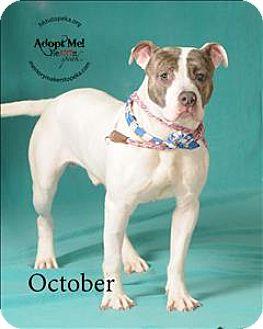 Pit Bull Terrier Mix Dog for adoption in Topeka, Kansas - October