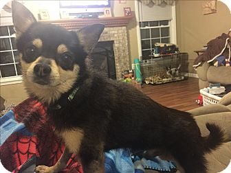Chihuahua/Terrier (Unknown Type, Small) Mix Dog for adoption in Indianapolis, Indiana - Mario