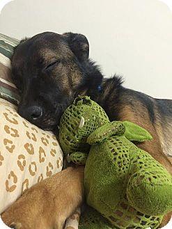 German Shepherd Dog/Retriever (Unknown Type) Mix Dog for adoption in Mebane, North Carolina - Outlaw