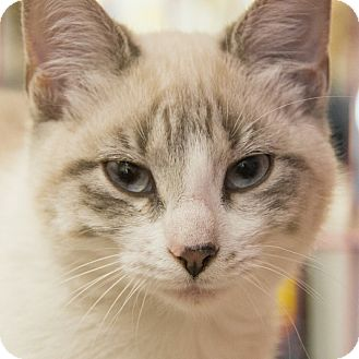 Siamese Cats For Adoption Houston Tx