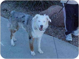 Australian Shepherd Puppy for adoption in Mesa, Arizona - Sierra