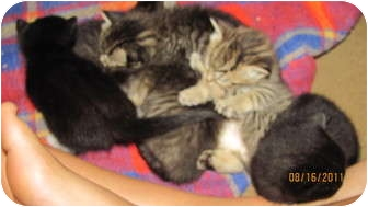 Domestic Shorthair Kitten for adoption in Oxford, Connecticut - Seven Kitten litter