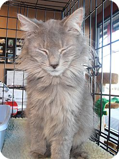 Domestic Mediumhair Cat for adoption in Horsham, Pennsylvania - Loretta