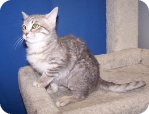 Domestic Shorthair Cat for adoption in Colorado Springs, Colorado - Merida