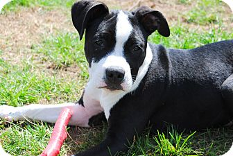 American Pit Bull Terrier Mix Puppy for adoption in Yuba City, California - 03/09 Axel