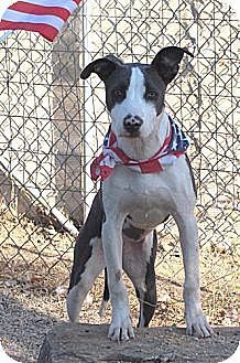 Whippet/American Staffordshire Terrier Mix Dog for adoption in Toluca Lake, California - Malibu Barbie