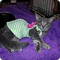 Domestic Shorthair Cat for adoption in St. Cloud, Florida - Lexie