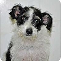 Adopt A Pet :: Scraps - Port Washington, NY