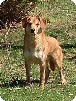 Coonhound (Unknown Type)/Golden Retriever Mix Dog for adoption in New Philadelphia, Ohio - Daxx