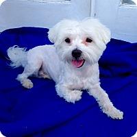 Adopt A Pet :: Duke - Encino, CA