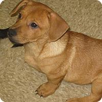 Adopt A Pet :: Percy - Albany, NY