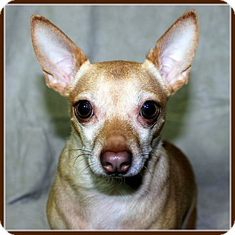 Chihuahua Dog for adoption in Little Rock, Arkansas - TIC TAC in Rogers, AR.