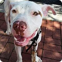 Adopt A Pet :: Milo - Ocean Ridge, FL