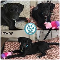 Adopt A Pet :: Tawny - Kimberton, PA