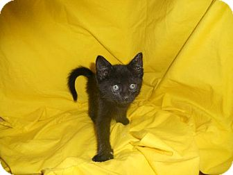Domestic Mediumhair Kitten for adoption in Canal Winchester, Ohio - Fava   Bean