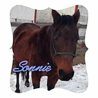 Quarterhorse Mix for adoption in milk river, Alberta - Sonnie