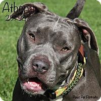 Adopt A Pet :: Athena - Troy, MI
