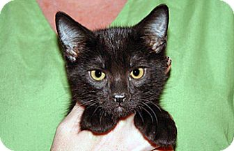 Domestic Mediumhair Kitten for adoption in Wildomar, California - Spike