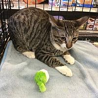 Adopt A Pet :: Miles - Gilbert, AZ