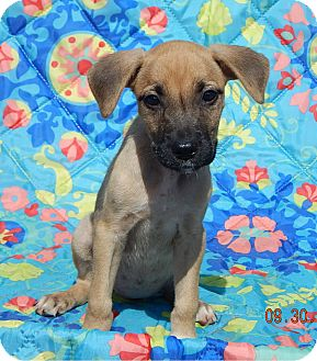 Boxer/Retriever (Unknown Type) Mix Puppy for adoption in West Sand Lake, New York - Teagan (6 lb) Video!