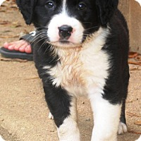 Adopt A Pet :: BLAKE - Piscataway, NJ
