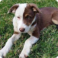 Adopt A Pet :: Ginger - Livermore, CA
