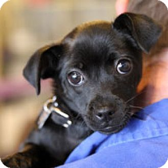 Chihuahua Mix Dog for adoption in Pacific Grove, California - Josephine