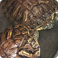 Adopt A Pet :: 23272 - Crush and Squirtle - Ellicott City, MD