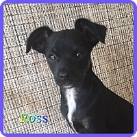 Adopt A Pet :: Ross - Hollywood, FL