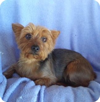Yorkie, Yorkshire Terrier Dog for adoption in Temecula, California - Cleo