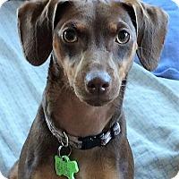Adopt A Pet :: MOCHA - Sacramento, CA