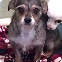 Adopt A Pet :: Cindie Lu - Costa Mesa, CA