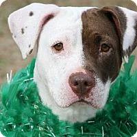 Adopt A Pet :: Harlie - Richardson, TX