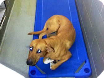 Basenji/Ibizan Hound Mix Dog for adoption in Fort Riley, Kansas - Bentley