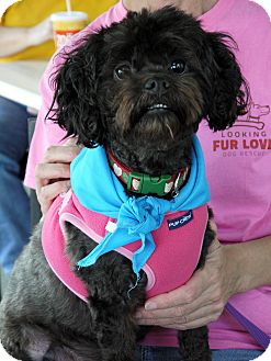 Shih Tzu/Poodle (Miniature) Mix Dog for adoption in Baton Rouge, Louisiana - Raven