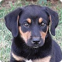 Adopt A Pet :: *Penelope - PENDING - Westport, CT