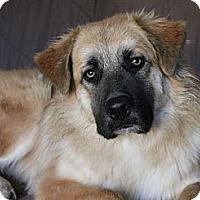 Adopt A Pet :: *Fozzy - PENDING - Westport, CT