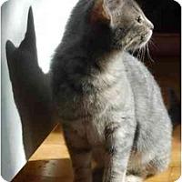 Adopt A Pet :: Noir - Chicago, IL