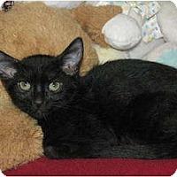 Adopt A Pet :: Geisha -  2 mos - Scottsdale, AZ