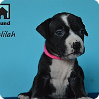 Adopt A Pet :: Delilah - Chicago, IL