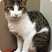 Adopt A Pet :: Foxy - Plainfield, IL