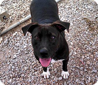 Labrador Retriever/Boxer Mix Dog for adoption in Hartselle, Alabama - Ramona