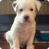 Adopt A Pet :: Ollie - Nashville, TN
